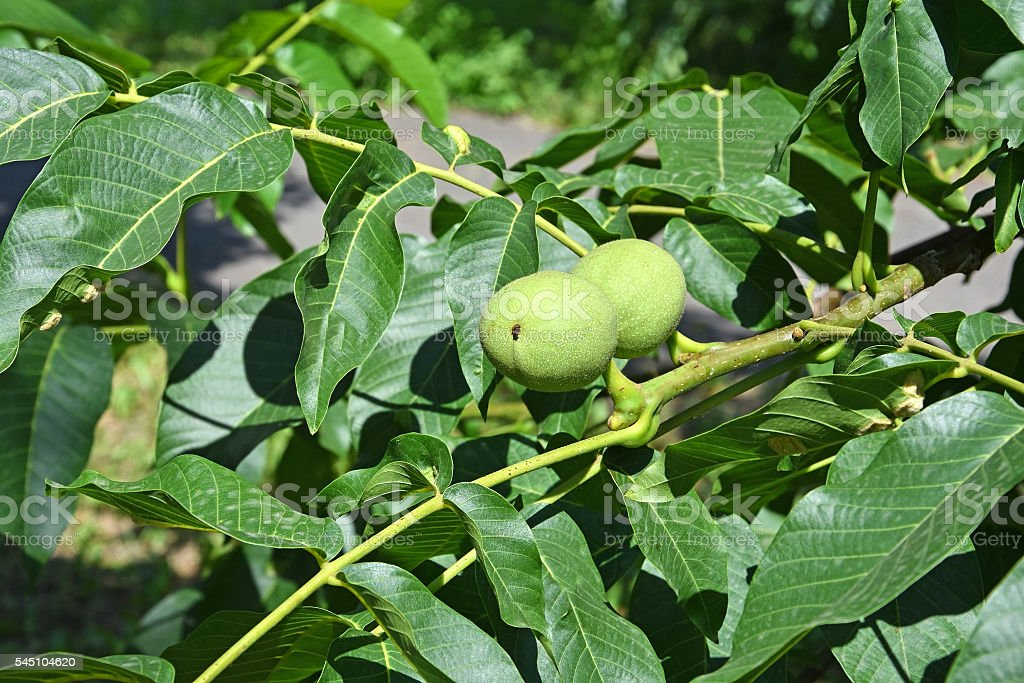 Walnut Tree In Summer Stock Photo & More Pictures of Black