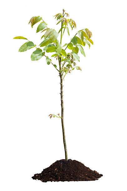 Walnut tree isolated Young walnut tree isolated on white background sapling stock pictures, royalty-free photos & images