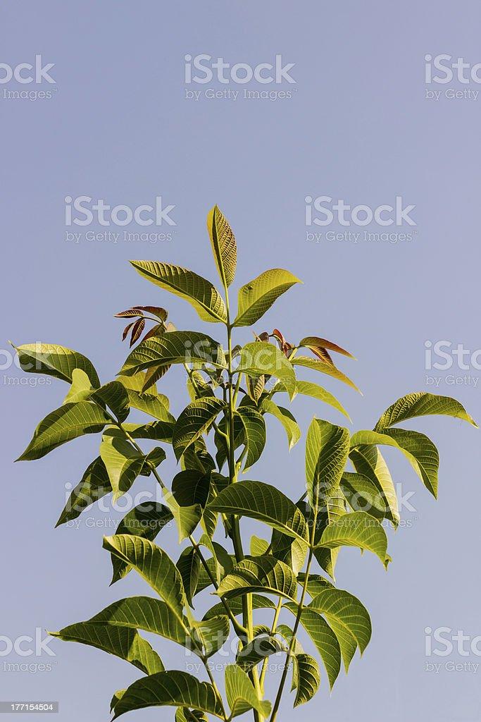 Walnut tree leaves royalty-free stock photo