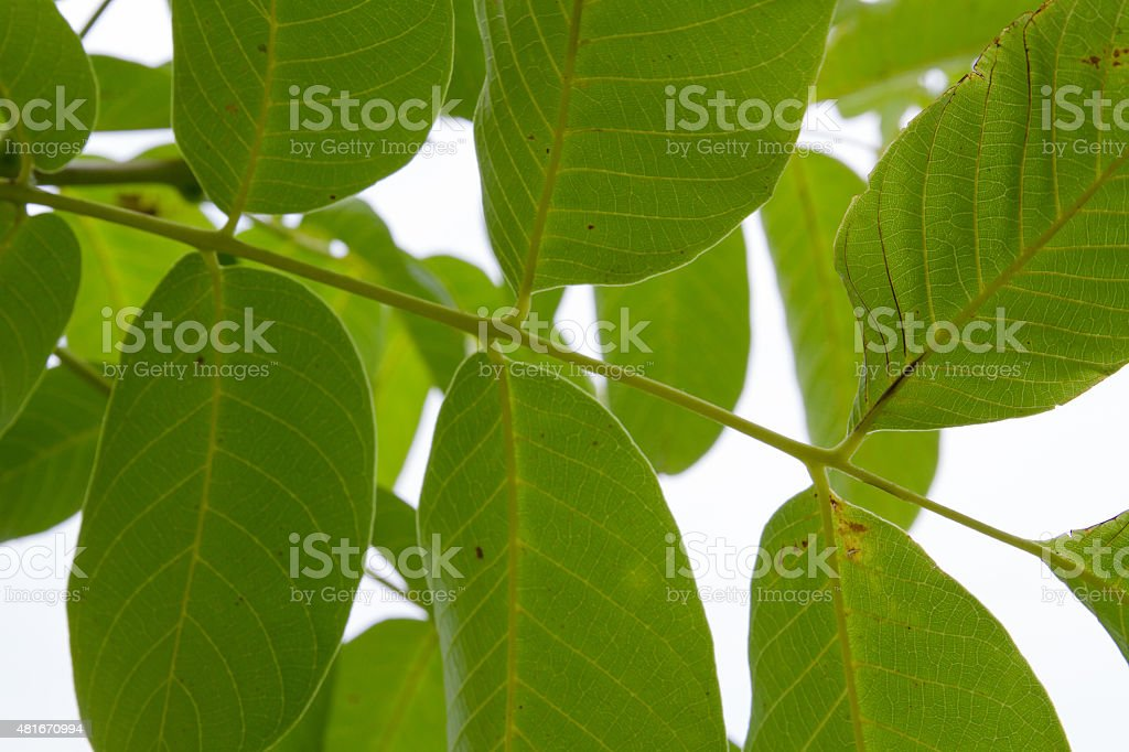 Walnut Tree Leaves Stock Photo - Download Image Now - iStock