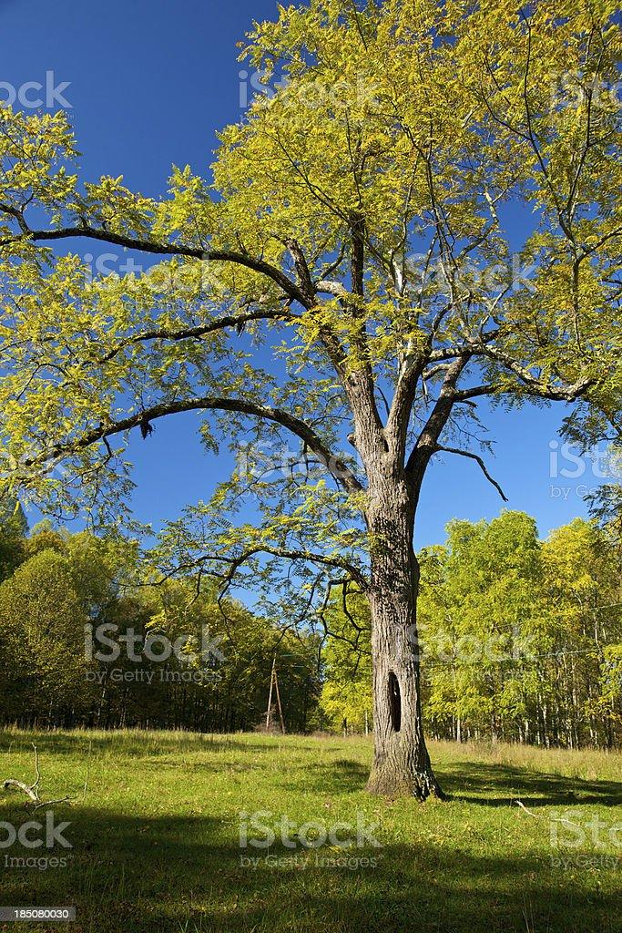 Walnut Tree stock photo