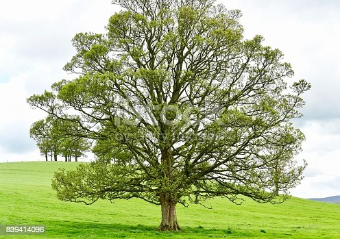 English Walnut Tree in West Yorkshire, England