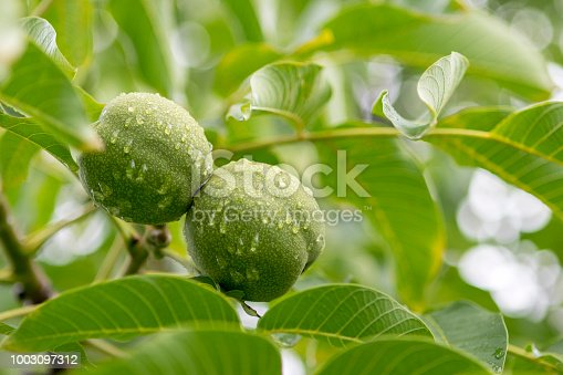Walnut Tree with Green Nuts after Rain