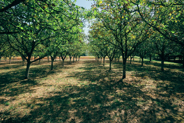 Walnut trees orchard stock photo