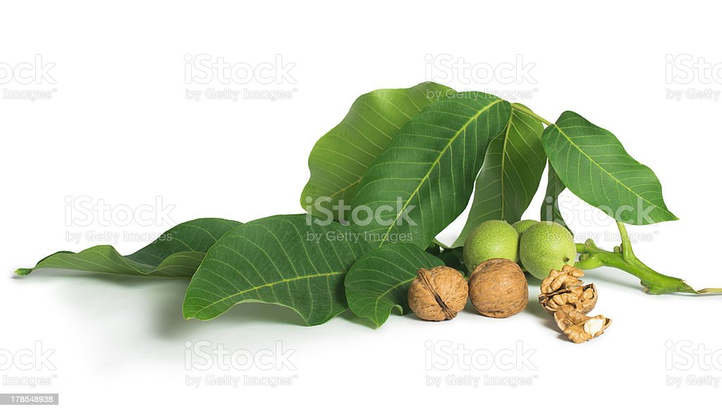 Walnuts and branch with leaves white isolated royalty-free stock photo