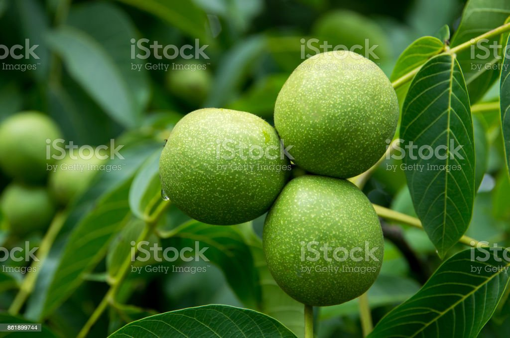 Walnuts hanging on a tree stock photo
