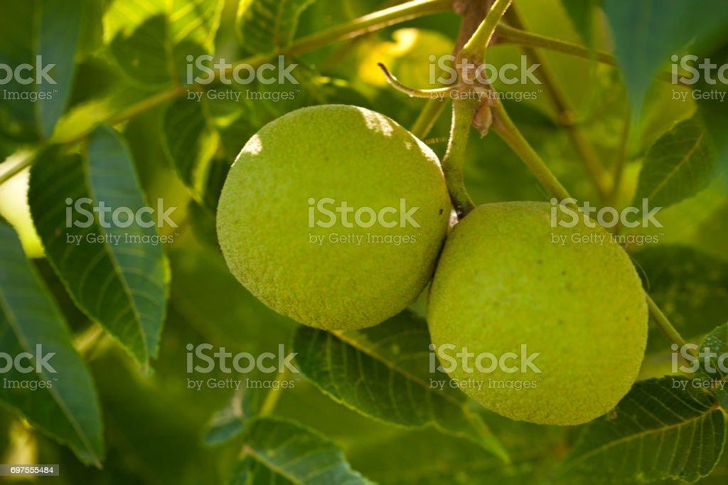 Walnuts on a Tree stock photo