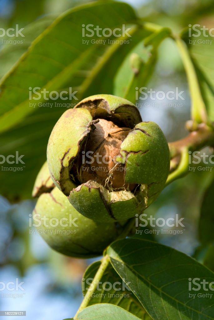Walnuts on the tree stock photo