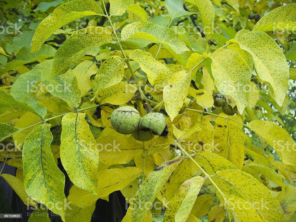 Walnuts on tree stock photo