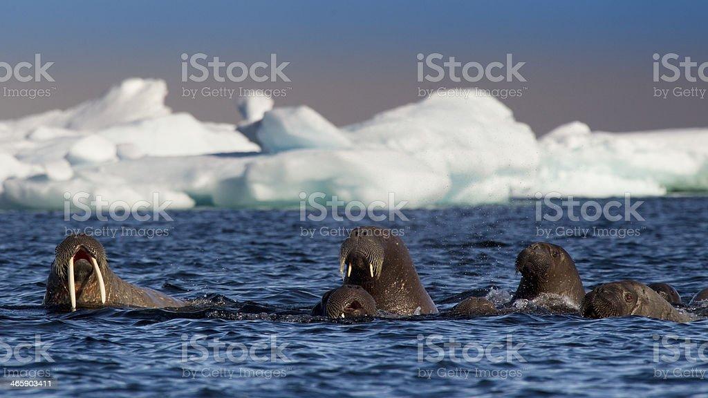 Walross, Odobenus rosmarus, walrus stock photo