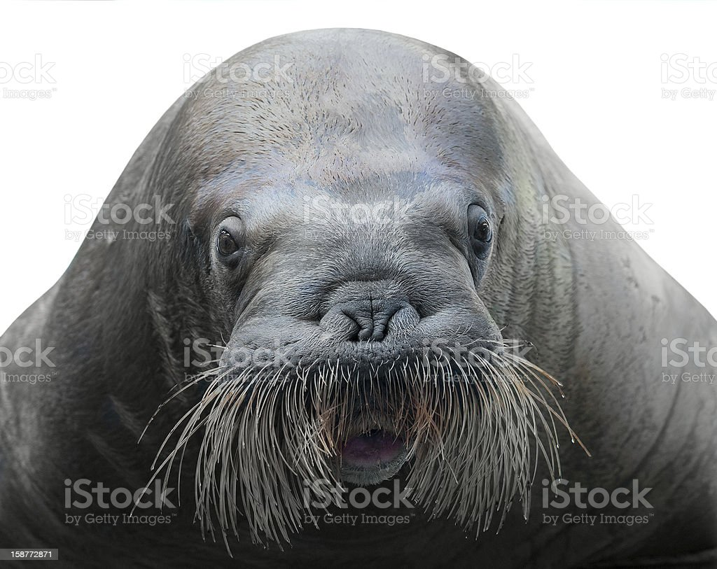 walrus close-up isolated on white stock photo