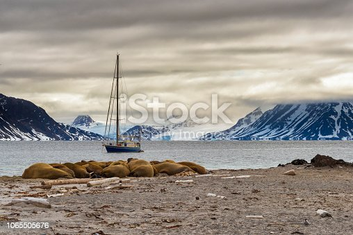 istock Walrus Colony in Svalbard Nothern Fjords, Spitsbergen, Arctica 1065505676