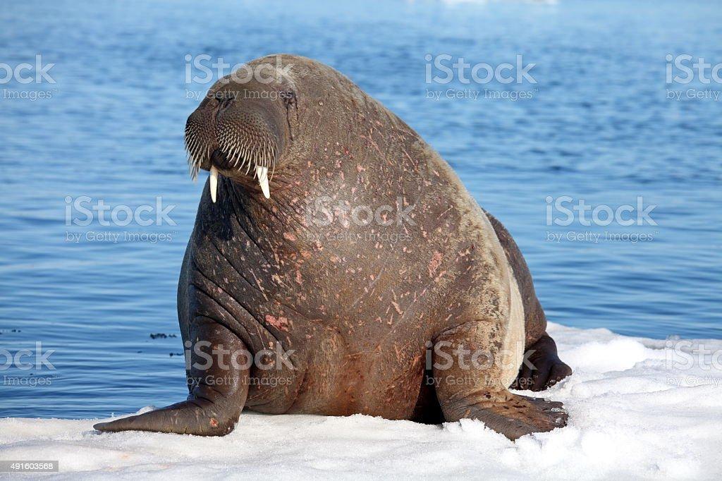Walrus cow stock photo