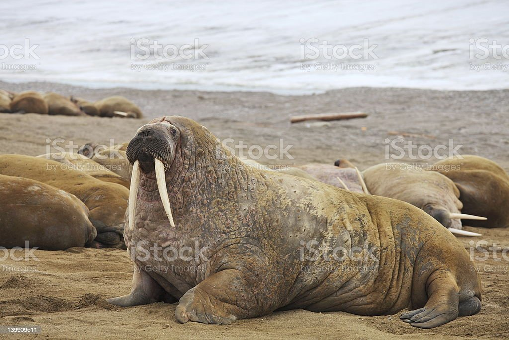Walrus family with giant tusks stock photo