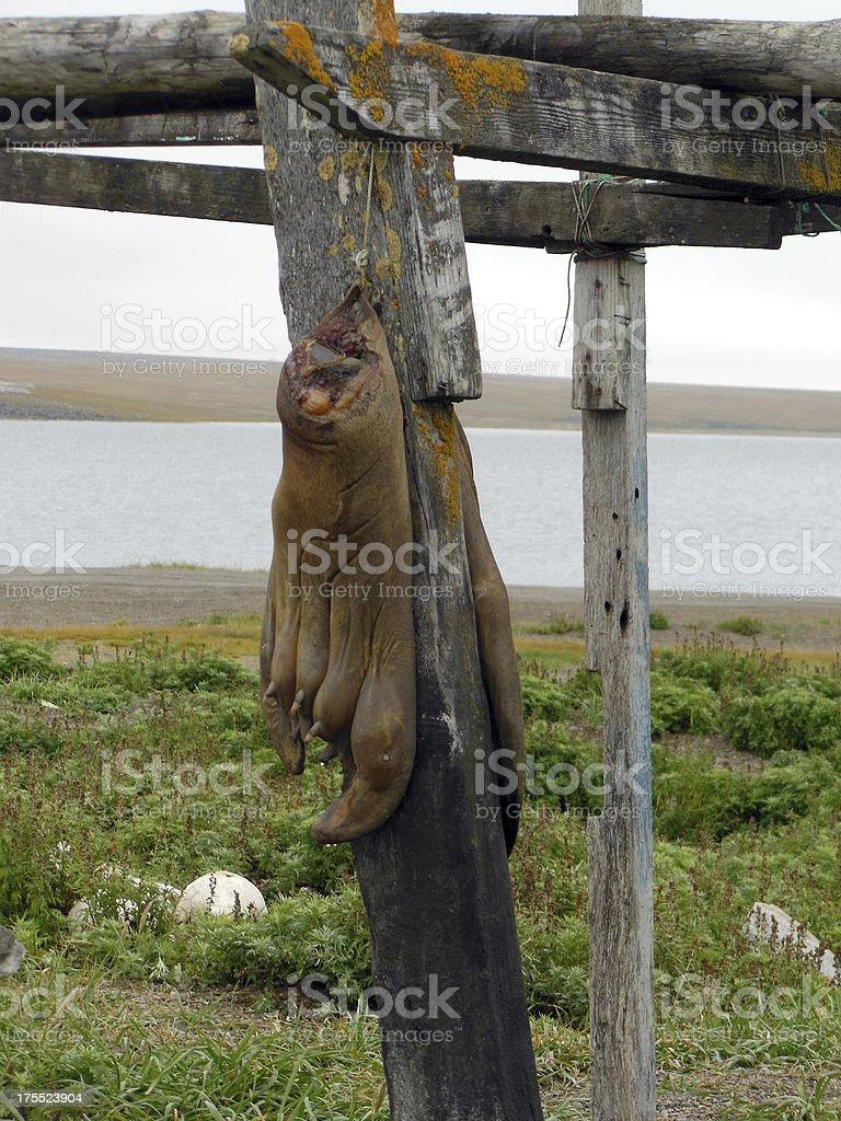 Walrus Flippers stock photo