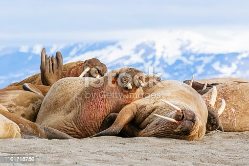 Walrus (Odobenus rosmarus) hauled out at a popular expedition ship landing spot called Poolepynten