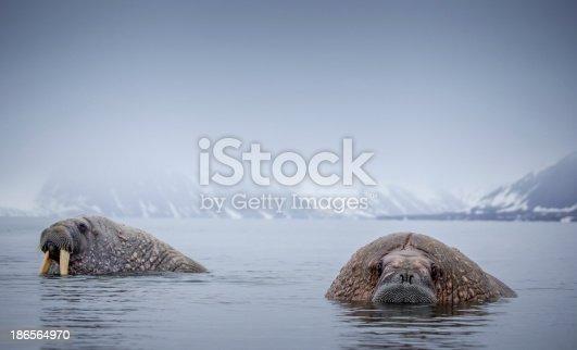 Walrus in arctic water on Spitsbergen/Svalbard in the North Pole region