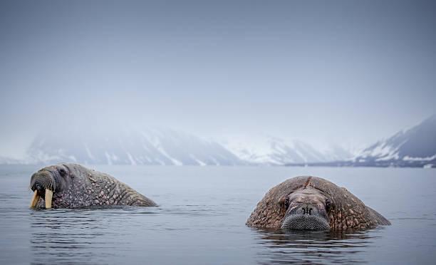 Morse de l'arctique de Norvège habitat naturel de Svalbard - Photo