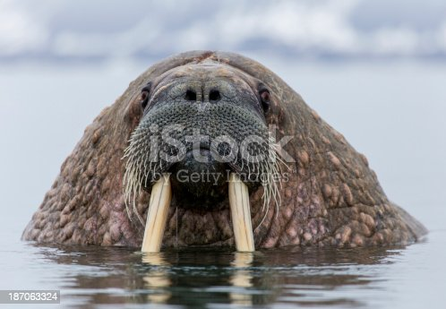 Close up for Walrus in the Arctic water on Spitsbergen/Svalbard in the North Pole region
