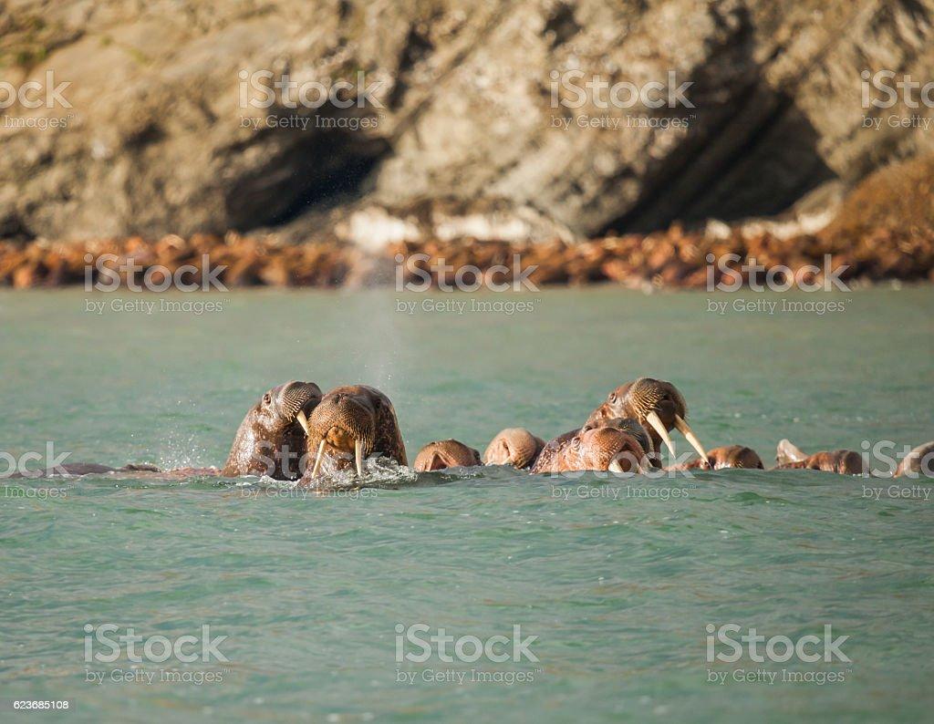 walrus in Siberai stock photo