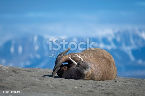 walrus lay down in a sandy beach with mountians on the background at svalbard Islands