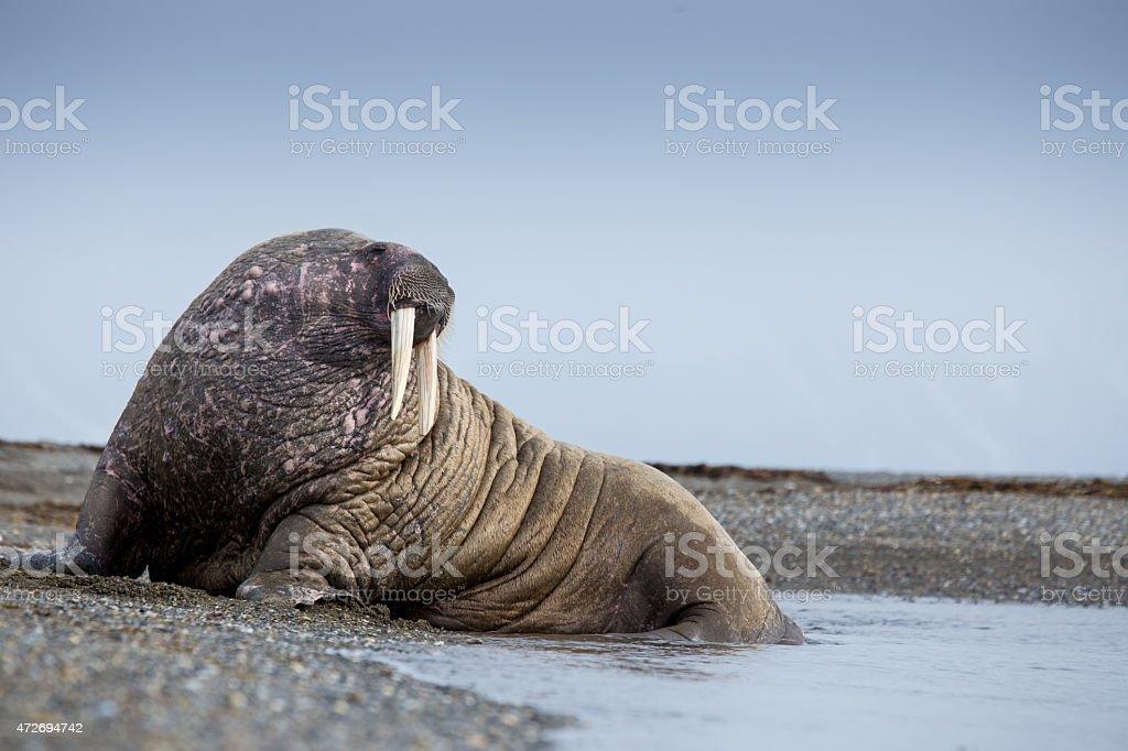 walrus mammal lying on a beach in Svalbard stock photo