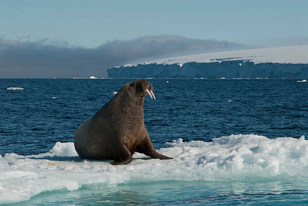 Walrus on an ice floe stock photo