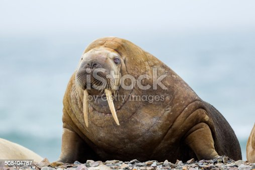 Walrus hauled out on beach  Svalbard , Norway