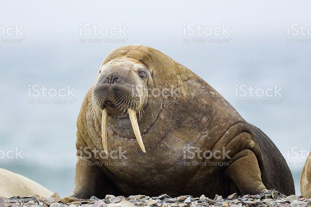 Walrus on Beach stock photo