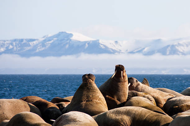 Walrus on Svalbard in the Arctic stock photo