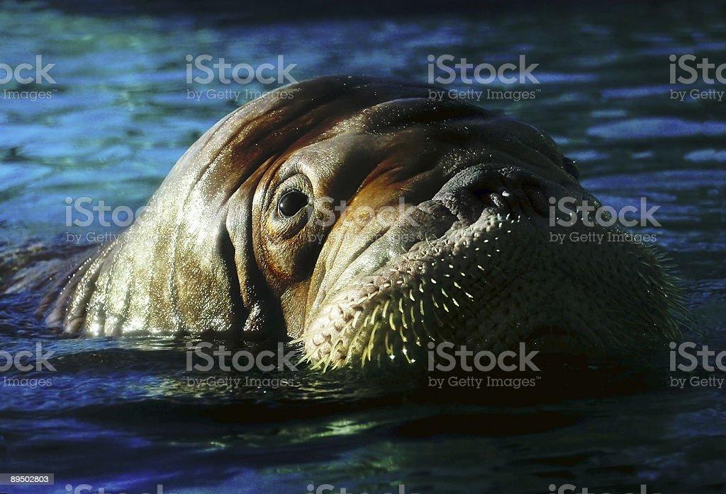 Walrus royalty-free stock photo