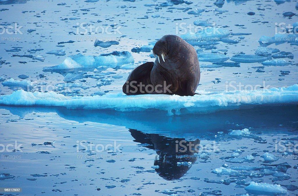 Animali leone sul ghiaccio foto stock royalty-free