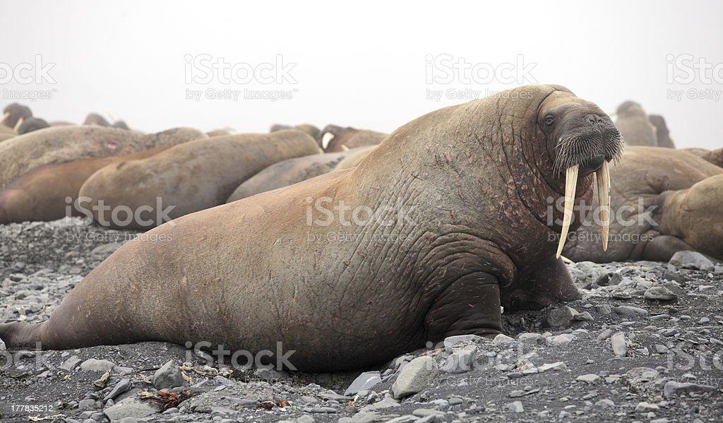 Walrus rookery stock photo