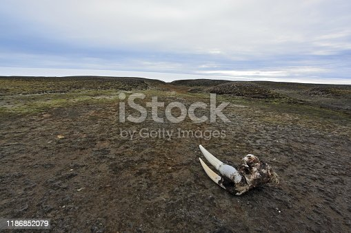 Walrus skull with tusks on the Arctic beach