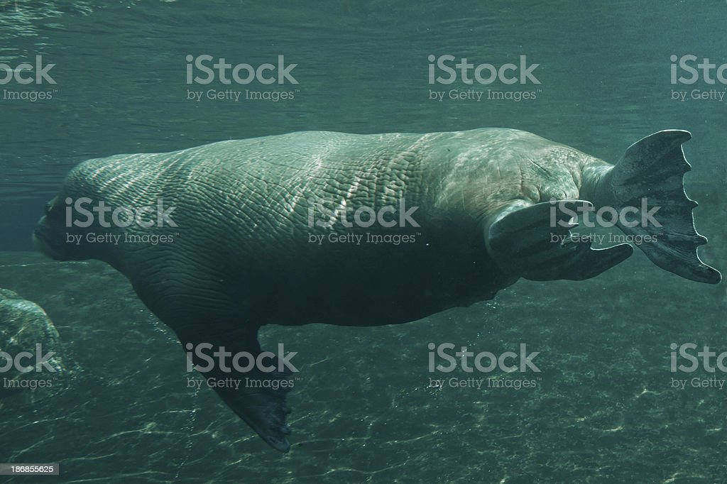 Walrus underwater royalty-free stock photo