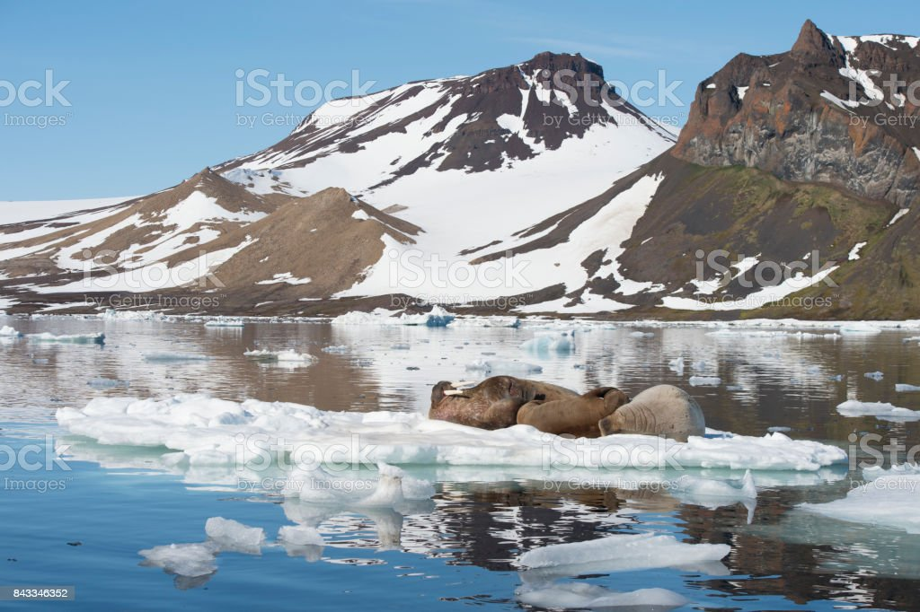 Walruses on ice flow stock photo