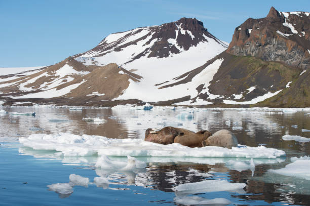 Walruses on ice flow stock photo