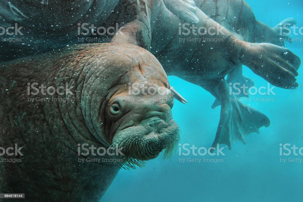 Walruses swim under water in the zoo. royalty-free stock photo
