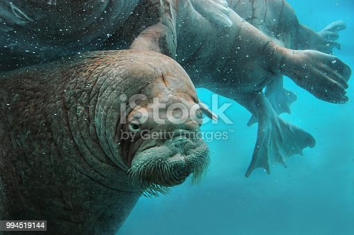 Walruses swim under water in the zoo. Underwater mammals in Northern waters and seas. Environmental protection.
