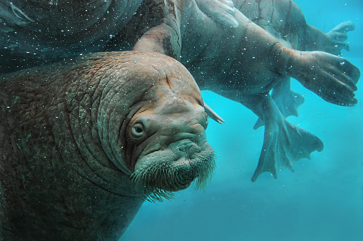 Walruses Swim Under Water In The Zoo Stock Photo - Download Image Now