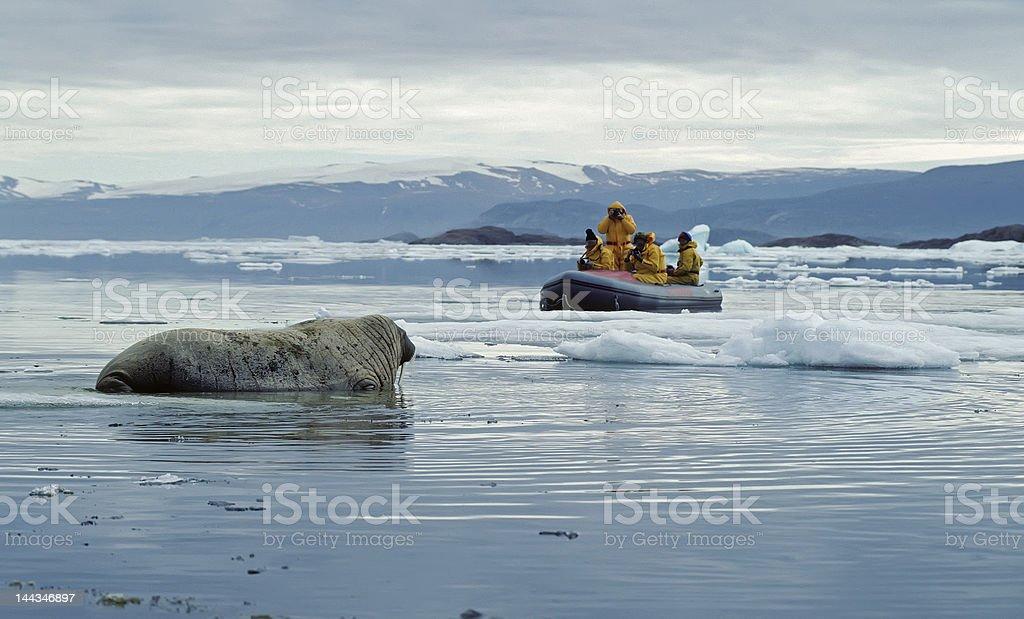 Walrus-Nature photographers in the studio. stock photo