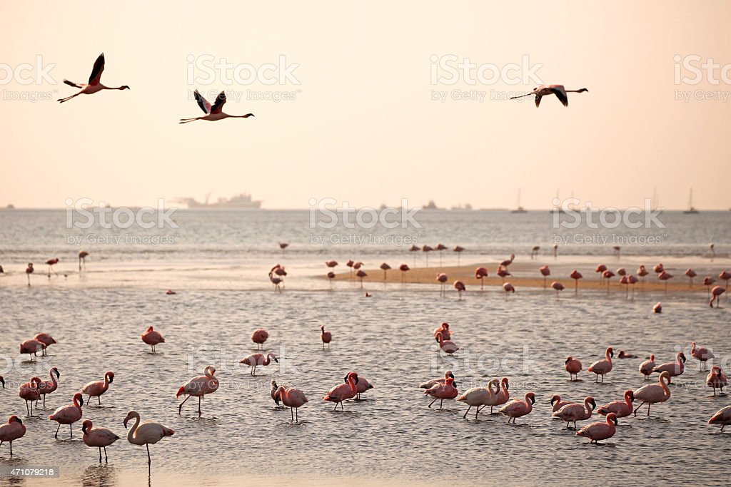 Walvis Bay Flamingos at Sunset stock photo