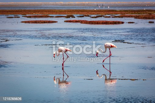 Greater Flamingos together side by side in a Desert Puddle in the Namib Desert close to Walvis Bay - Swakopmund, Namibia, Africa