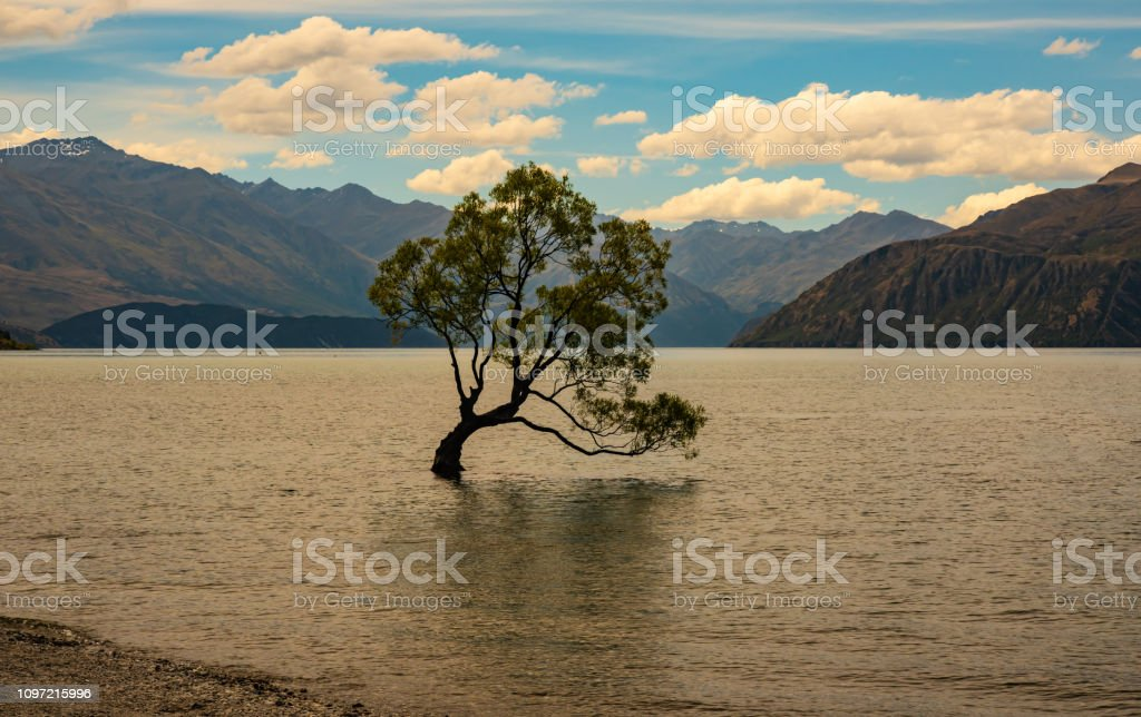 Wanaka Lake Willow stock photo
