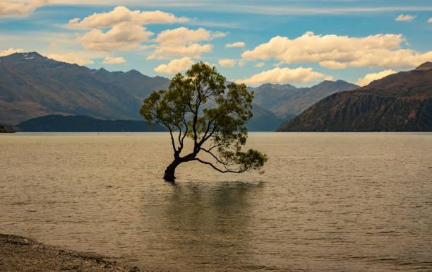 Wanaka Lake Willow stock photo