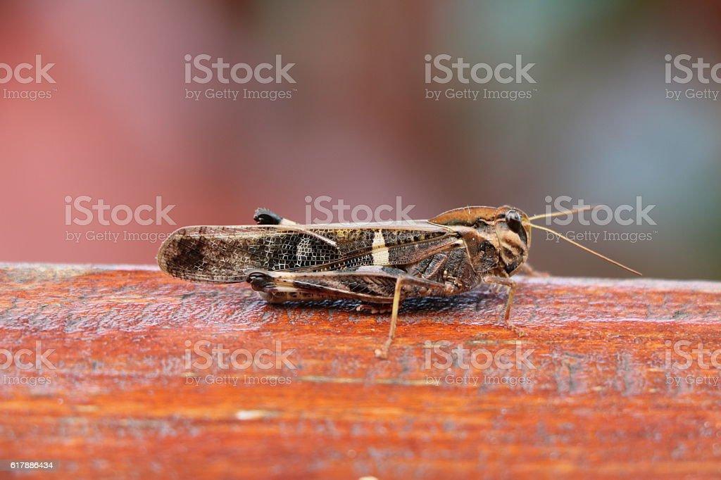 Wanderheuschrecke Locusta migratoria in Botswana, Africa stock photo