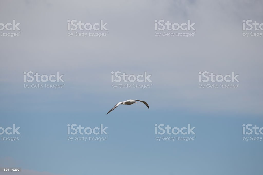 A Wandering Albatross at Prion Island, South Georgia. royalty-free stock photo