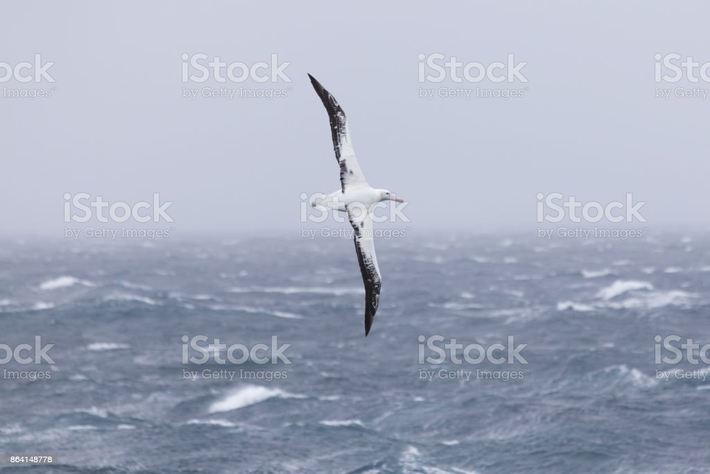 A wandering albatross at sea. royalty-free stock photo