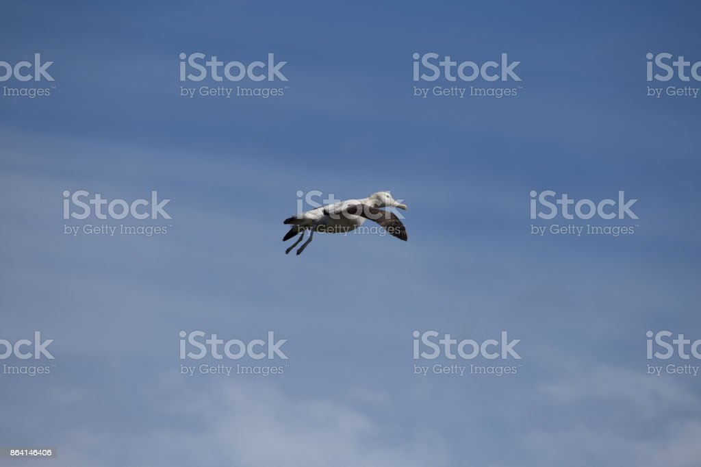 A wandering albatross comes in for landing. royalty-free stock photo