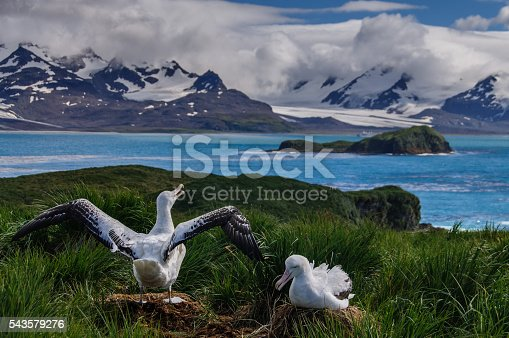 The largest bird of the southern ocean, they magnificent giant wandering albatross nests at south Georgia. The oftentimes form dedicated couples. Here we see an adult couple on a nest. One of them is raising its wings.This scene was shot on Prion Island, one of the more remote locations on South Georgia.